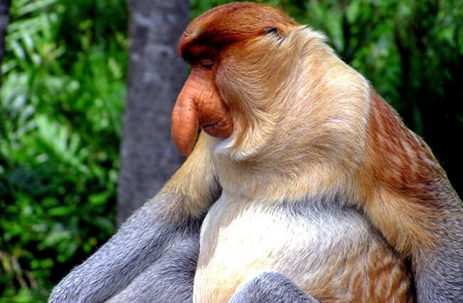 Male Proboscis Monkey in profile