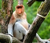 Proboscis Monkey Watching The Tourists Walk By