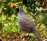 Portrait Of A California Quail Photo By: Sean Echelbarger Https://pixabay.com/photos/quail-Bird-Nature-Wildlife-504658/