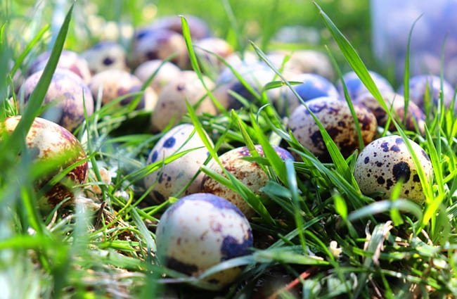 Quail eggs Photo by: Turgut Canbaş //pixabay.com/photos/quail-egg-quail-eggs-easter-close-4178061/