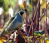 California Quail Photo By: Leigh Hilbert Https://creativecommons.org/licenses/by/2.0/