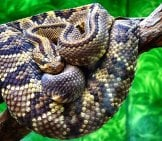 Rattlesnake In A Zoo Exhibit Photo By: Gerson Rodriguez Https://Pixabay.com/Photos/Rattlesnake-Snake-Scales-Zoo-2001568/