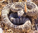 Rattlesnake Warning The Photographer To Back Away!Photo By: Skeezehttps://Pixabay.com/Photos/Rattlesnake-Viper-Coiled-Poisonous-3879734/
