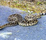 Rattlesnake Warming Itself On The Blacktop Road Photo By: Ben Stephenson Https://creativecommons.org/licenses/by/2.0/