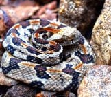 Timber Rattlesnake On The Rocks Photo By: Smashtonlee05 Https://Creativecommons.org/Licenses/By/2.0/