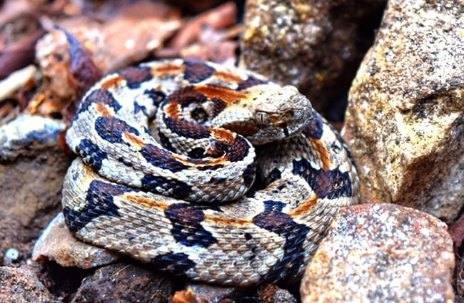 Rattlesnake - Description, Habitat, Image, Diet, and Interesting Facts