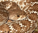 Red Diamond Rattlesnake Photo By: Gilaman Https://Creativecommons.org/Licenses/By/2.0/