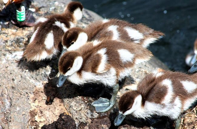 Ruddy Duck ducklings Photo by: zoosnow https://pixabay.com/photos/ogar-chicks-tadorna-ferruginea-duck-3859735/