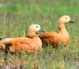A Ruddy Duck Pair In A Marshy Area Photo By: Kumararunprasad Https://pixabay.com/photos/bird-Ruddy-Shelduck-Duck-Brahminy-682766/