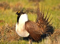 A Greater Sage-Grouse male strutting at a lekPhoto by: Jeannie Stafford/Pacific Southwest Region USFWShttps://creativecommons.org/licenses/by/2.0/