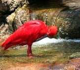 Scarlet Ibis Looking For A Catch