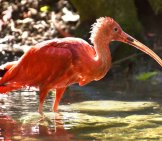 Scarlet Ibis Wading In Shallow Waters