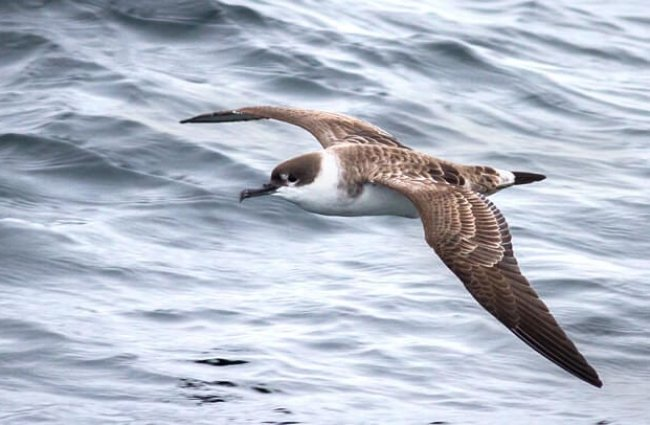 Great Shearwater at Bar Harbor Whale Watch Pelagic - Gulf of Maine Photo by: Fyn Kynd https://creativecommons.org/licenses/by/2.0/