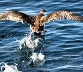 Great Shearwater Landing On The Water Photo By: Marco Fumasoni Https://creativecommons.org/licenses/by/2.0/