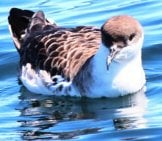 Closeup Of A Great Shearwater On Calm Waters Photo By: Gary Leavens Https://creativecommons.org/licenses/by/2.0/