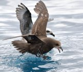 Shearwater Species Grey-Faced Petrel And White-Headed Petrel Photo By: Ed Dunens Https://creativecommons.org/licenses/by/2.0/