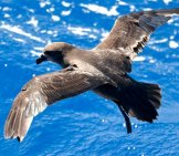 Shearwater Species - Shearwater Species Grey-Faced Petrelphoto By: Ed Dunenshttps://creativecommons.org/licenses/by/2.0/