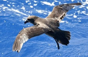 Shearwater species - Shearwater species Grey-faced PetrelPhoto by: Ed Dunens//creativecommons.org/licenses/by/2.0/