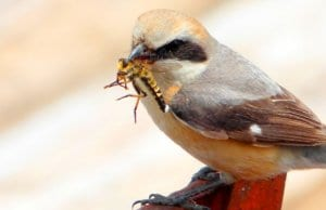 Shrike bringing a meal home to his chicksPhoto by: coniferconiferhttps://creativecommons.org/licenses/by-sa/2.0/
