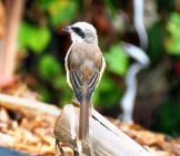 Rear View Of A Pretty Little Shrike Photo By: Vinson Tan //pixabay.com/photos/young-Adult-Brown-Shrike-Bird-4109797/