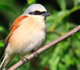 Beautiful Shrike Posing On A Branch Photo By: Babil Kulesi //pixabay.com/photos/lanius-Collurio-Red-Backed-Shrike-1908354/