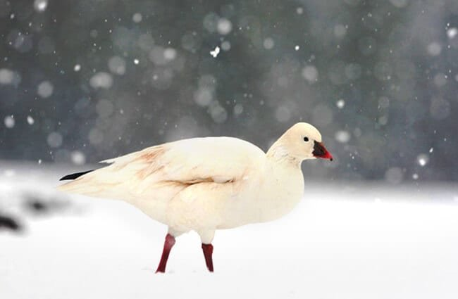 Snow Goose in a snow stormPhoto by: (c) mikelane45 www.fotosearch.com