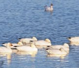 A Gaggle Of Snow Geese Resting On The Water Photo By: (C) Rrphoto Www.fotosearch.com