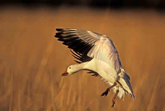 Snow Goose coming in for a landingPhoto by: (c) mikelane45 www.fotosearch.com
