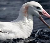 Wandering Albatross At Port Fairy Pelagic, Victoria Photo By: Ed Dunens Https://creativecommons.org/licenses/by/2.0/