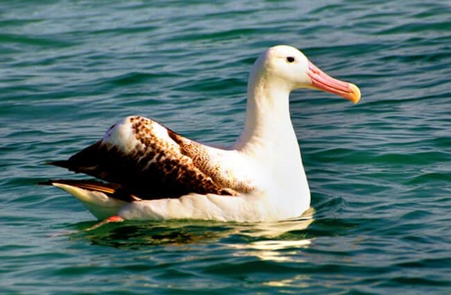 Wandering Albatross - one of the largest birds in the New Zealand Photo by: Bernard Spragg. NZ https://creativecommons.org/licenses/by/2.0/