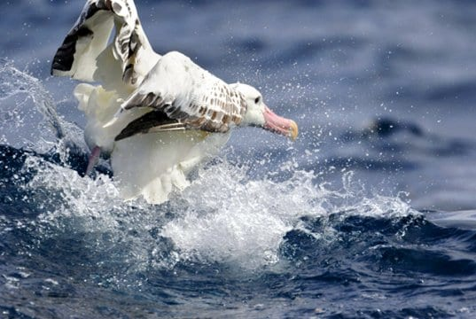 Wandering Albatross taking off from the waterPhoto by: Ed Dunens//creativecommons.org/licenses/by/2.0/