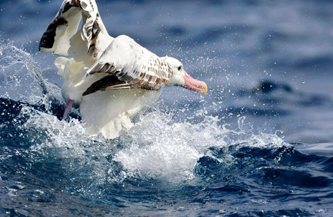 Wandering Albatross taking off from the waterPhoto by: Ed Dunenshttps://creativecommons.org/licenses/by/2.0/