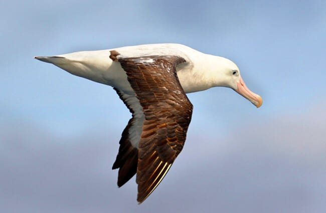 Wandering Albatross in flight Photo by: Ed Dunens https://creativecommons.org/licenses/by/2.0/