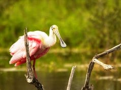 Roseate Spoonbill on a fallen tree branchPhoto by: skeeze//pixabay.com/photos/spoonbill-bird-roseate-wildlife-744887/
