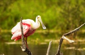 Roseate Spoonbill on a fallen tree branchPhoto by: skeezehttps://pixabay.com/photos/spoonbill-bird-roseate-wildlife-744887/