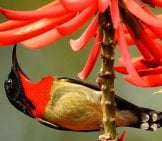 Fork-Tailed Sunbird Drinking Nectar Photo By: Andy Li Https://creativecommons.org/licenses/by-Nd/2.0/
