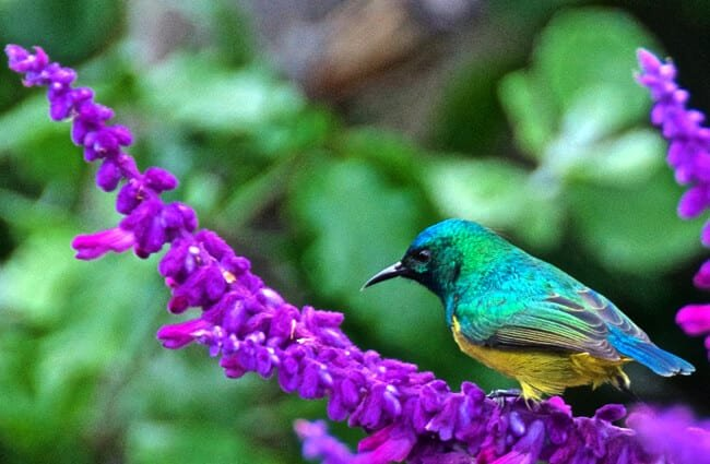 Collared Sunbird on a beautiful lavender flower Photo by: Brian Ralphs https://creativecommons.org/licenses/by-nd/2.0/