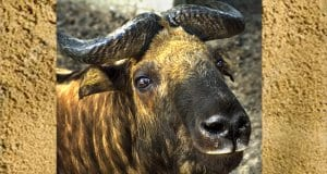 Closeup of a Takin-Mismi at the zooPhoto by: (c) IrinaSafonova www.fotosearch.com