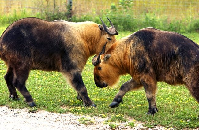 A pair of Takin bulls sparring Photo by: (c) bthompson2001 www.fotosearch.com