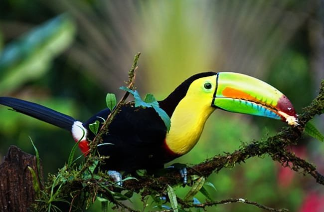 Keel-Billed Toucan, photographed in Costa Rica Photo by: Fintan O' Brien //pixabay.com/photos/keel-billed-toucan-costa-rica-bird-1021048/
