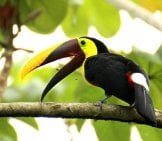 Brown-Back Toucan In Costa Rica Photo By: Tanja Wilbertz Https://pixabay.com/photos/toucan-Brown-Back-Toucan-Costa-Rica-1972559/