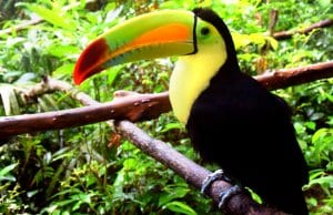 Toucan photographed at a Belize zooPhoto by: Minke Winkhttps://pixabay.com/photos/belize-belize-zoo-toucan-bird-1879995/