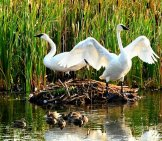 A Trumpeter Swan Pair Guarding Their Nest And Cignets (Baby Swans) Photo By: Skeeze Https://pixabay.com/photos/trumpeter-Swans-Birds-Wildlife-959705/