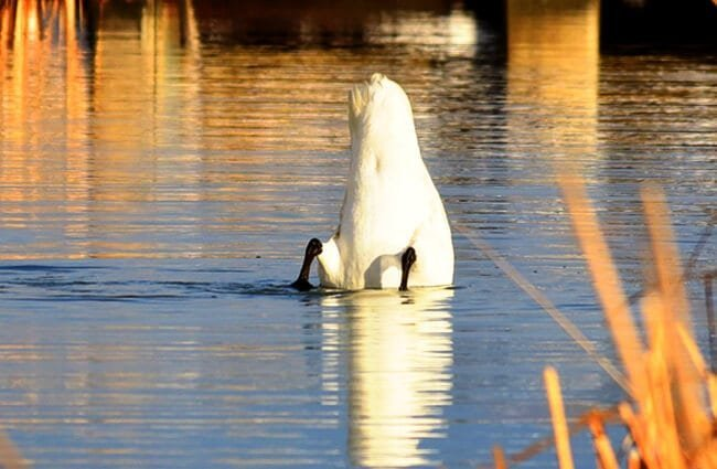 Trumpeter Swan tipped upside-down, feeding! Photo by: Tom Koerner / USFWS Mountain-Prairie https://creativecommons.org/licenses/by/2.0/