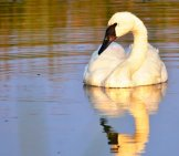 A Beautiful Trumpeter Swan With His Reflection In The Setting Sunphoto By: Tom Koerner / Usfws Mountain-Prairiehttps://creativecommons.org/licenses/by/2.0/