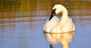 A beautiful Trumpeter Swan with his reflection in the setting sunPhoto by: Tom Koerner / USFWS Mountain-Prairie//creativecommons.org/licenses/by/2.0/