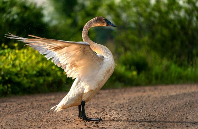 A beautiful Trumpeter Swan at Sherburne National Wildlife Refuge Photo by: Lorie Shaull https://creativecommons.org/licenses/by/2.0/
