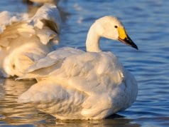 Tundra Swan in profilePhoto by: Ik Thttps://creativecommons.org/licenses/by-sa/2.0/