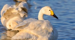 Tundra Swan in profilePhoto by: Ik T//creativecommons.org/licenses/by-sa/2.0/