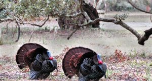 Two Wild Turkeys, displaying their tails
